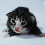 HU*Nordic Verden Gaudium - norvég erdei macska