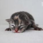 HU*Nordic Verden Emma - norvég erdei macska