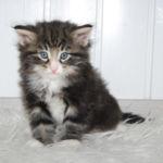 HU*Nordic Verden Callisto - norvég erdei macska