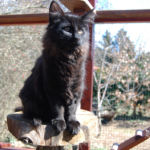 HU*Nordic Verden Giuseppe Meazza - norvég erdei macska