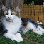 Nordic Verden - norvég erdei macska tenyészet - Jenny