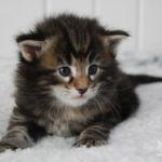 HU*Nordic Verden Jill Munroe - norvég erdei macska