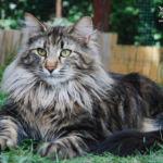 Nordic Verden - norvég erdei macska tenyészet - Joanna