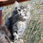 HU*Nordic Verden Da Luz (Minnie) - norvég erdei macska