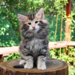 HU*Nordic Verden Peter Parker - norvég erdei macska