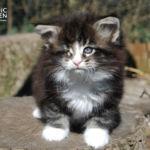 HU*Nordic Verden Rowan - norvég erdei macska