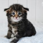 HU*Nordic Verden Sabrina Duncan - norvég erdei macska