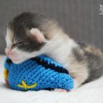 HU*Nordic Verden Sydney - norvég erdei macska