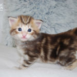 HU*Nordic Verden Trygg - norvég erdei macska