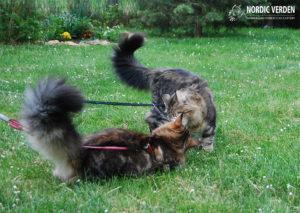 Norvég erdei macskák hámban