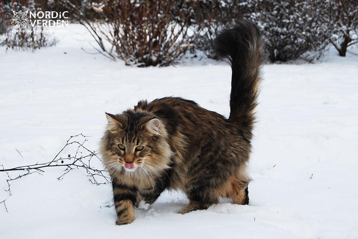 Hayley - norvég erdei macska