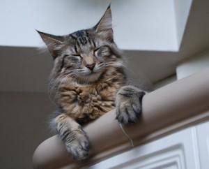Hayley - a tökéletes norvég erdei macska fejforma