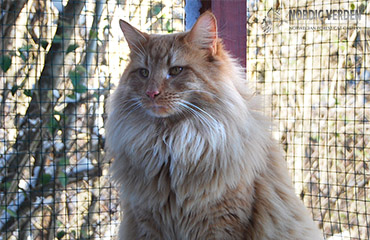 Jaime New Moon*PL - norvég erdei macska