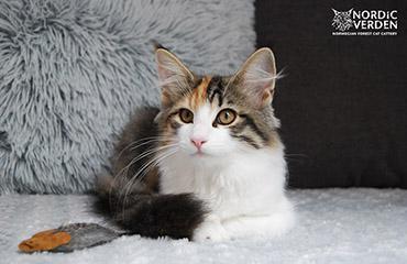 D*My Denabola's Kiana - norvég erdei macska