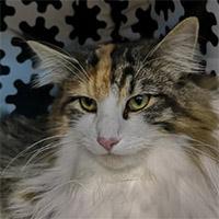 D*MY DENEBOLA'S KIANA - norvég erdei macska