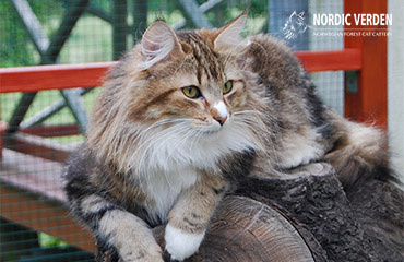Lora - norvég erdei macska