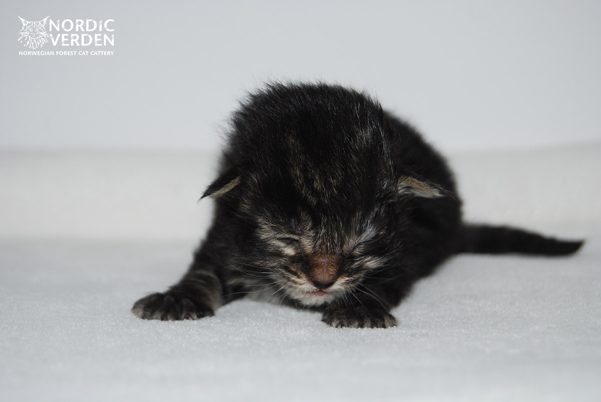 HU*Nordic Verden Da Luz (Minne) - norvég erdei macska