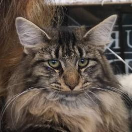 CH*THURAYA'S Flirty Nayeli - norvég erdei macska