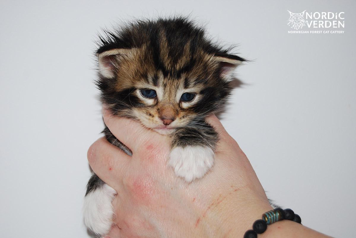 HU*Nordic Verden Spes - norvég erdei macska