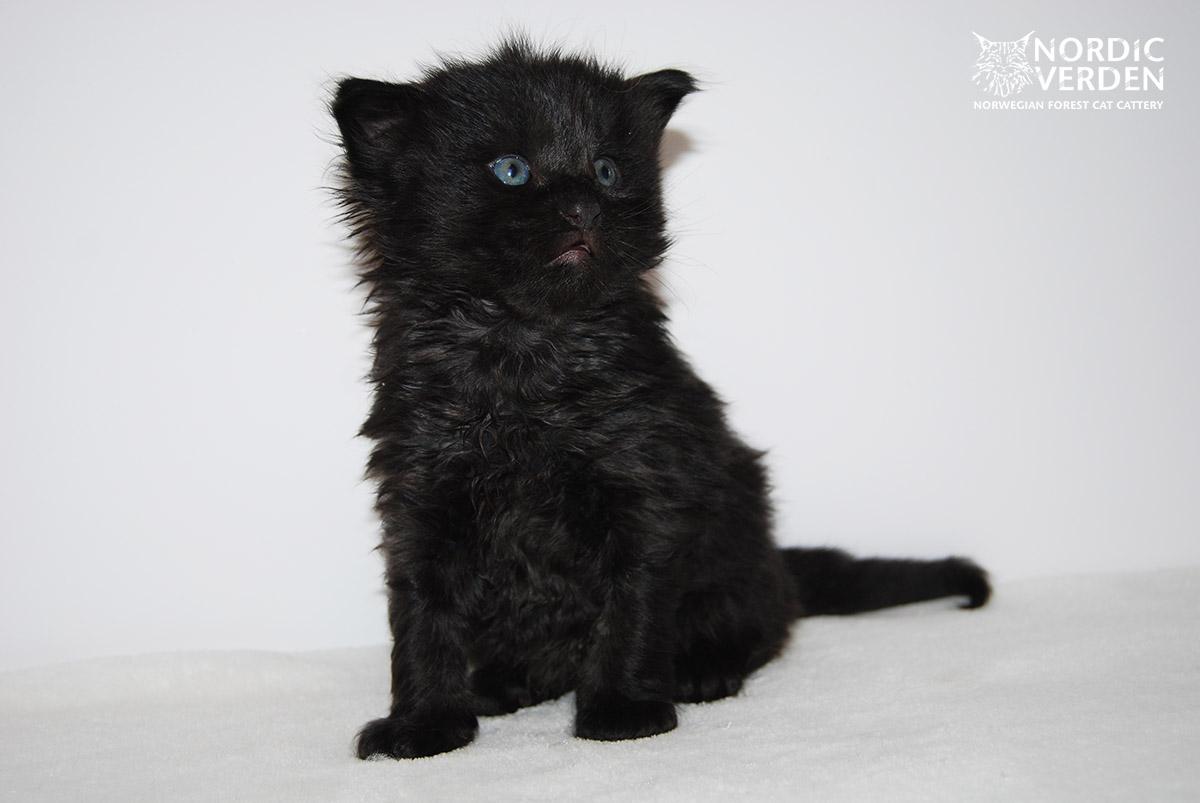 HU*Nordic Verden Vicente Calderon - norvég erdei macska