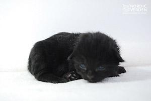 Giuseppe Meazza - norvég erdei macska