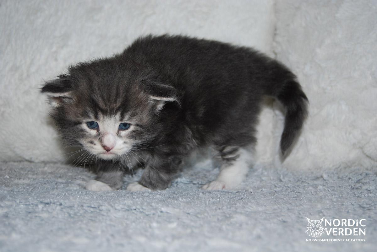 HU*Nordic Verden Aspen - norvég erdei macska