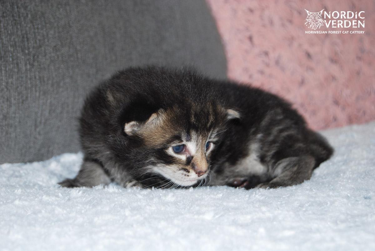 HU*Nordic Verden Atacama - norvég erdei macska