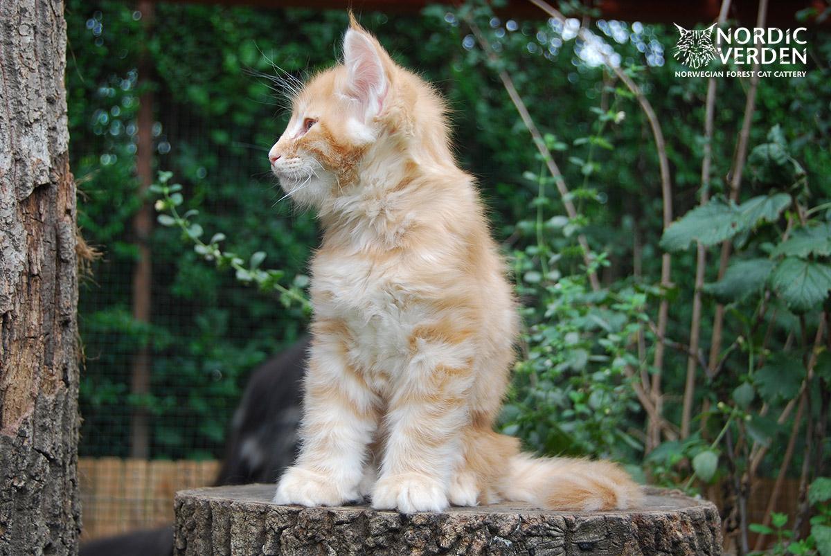 HU*Nordic Verden Barbarossa - norvég erdei macska