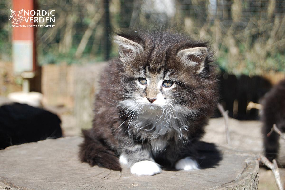 HU*Nordic Verden Defne - norvég erdei macska