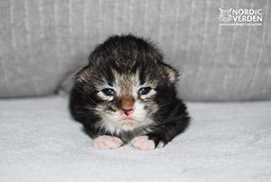 Defne - norvég erdei macska