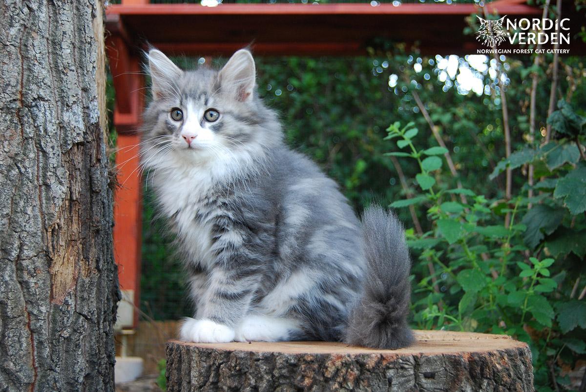 HU*Nordic Verden Dovre - norvég erdei macska