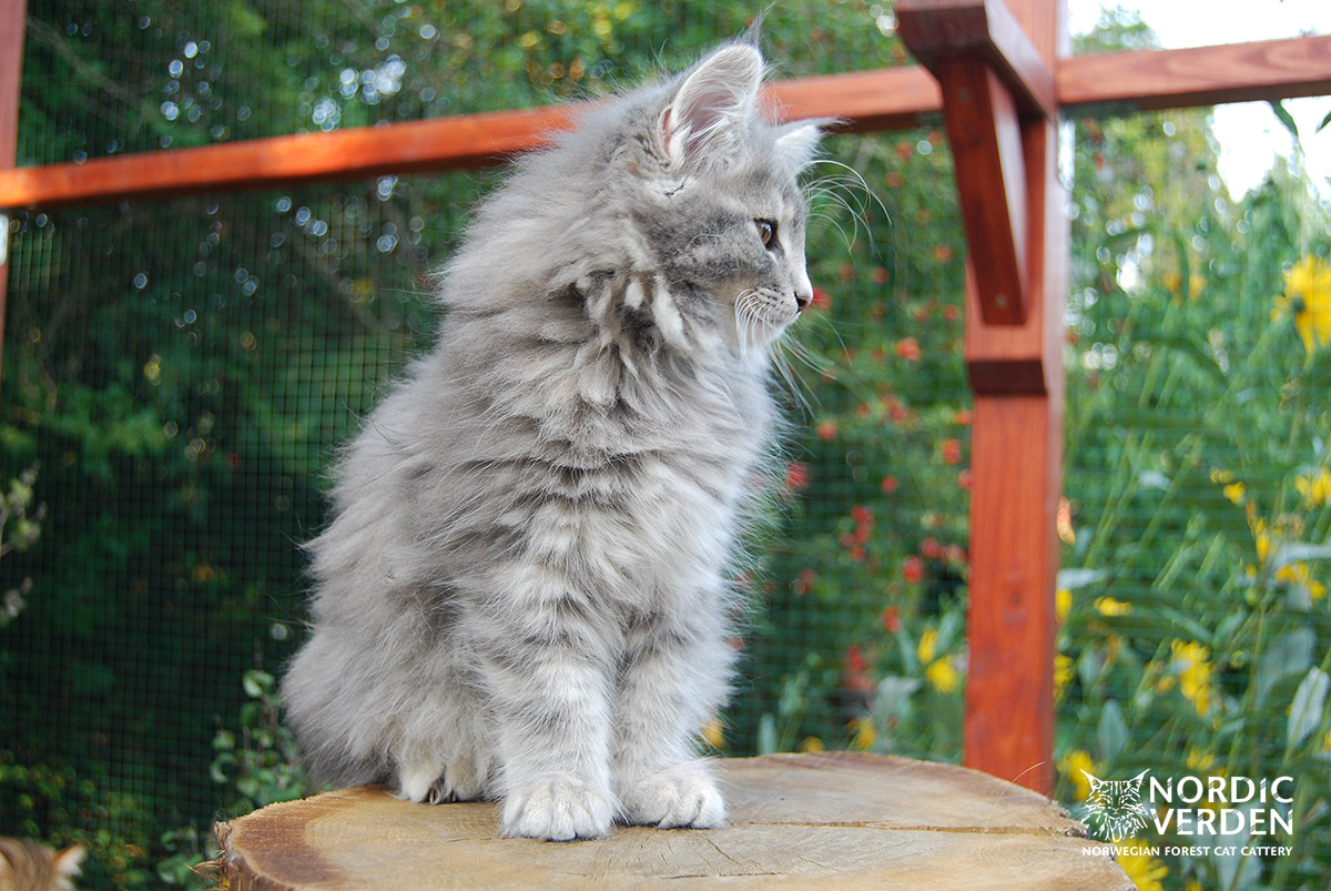 HU*Nordic Verden Elsa - norvég erdei macska