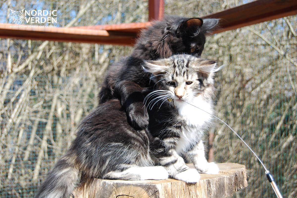 HU*Nordic Verden Fortuna - norvég erdei macska