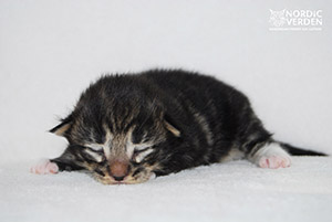 HU*Nordic Verden Ganymedes - norvég erdei macska
