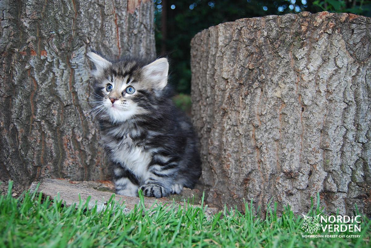 HU*Nordic Verden Harrar Ruanda - norvég erdei macska