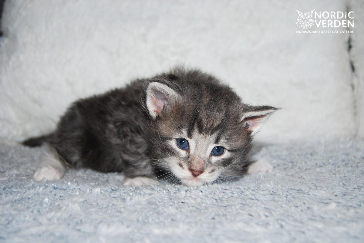 HU*Nordic Verden Hazel - norvég erdei macska