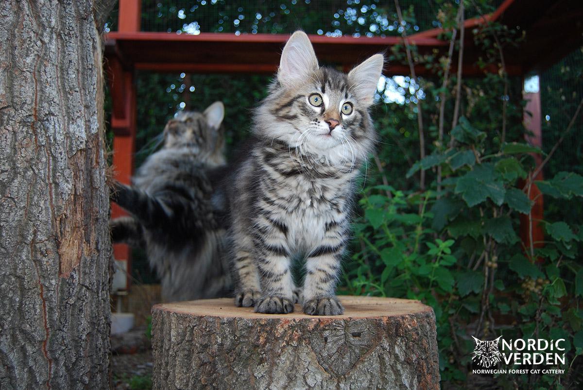 HU*Nordic Verden Heddal - norvég erdei macska