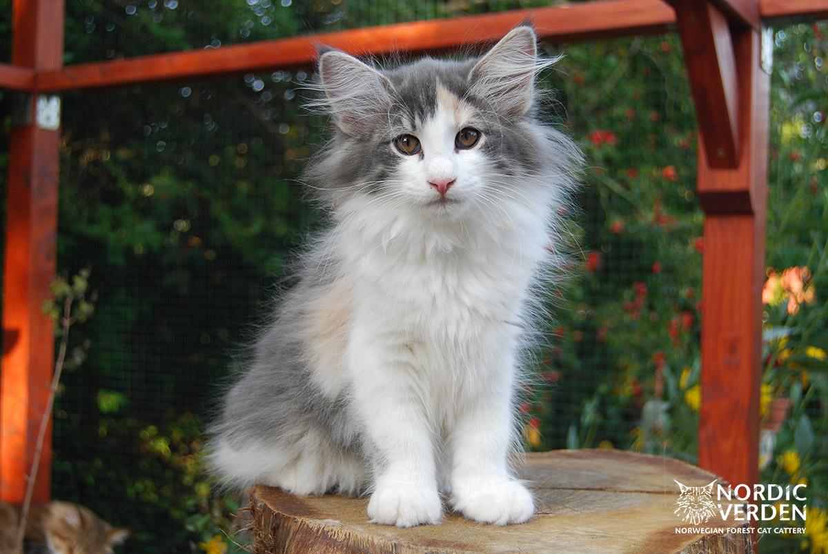 HU*Nordic Verden Jorinde - norvég erdei macska