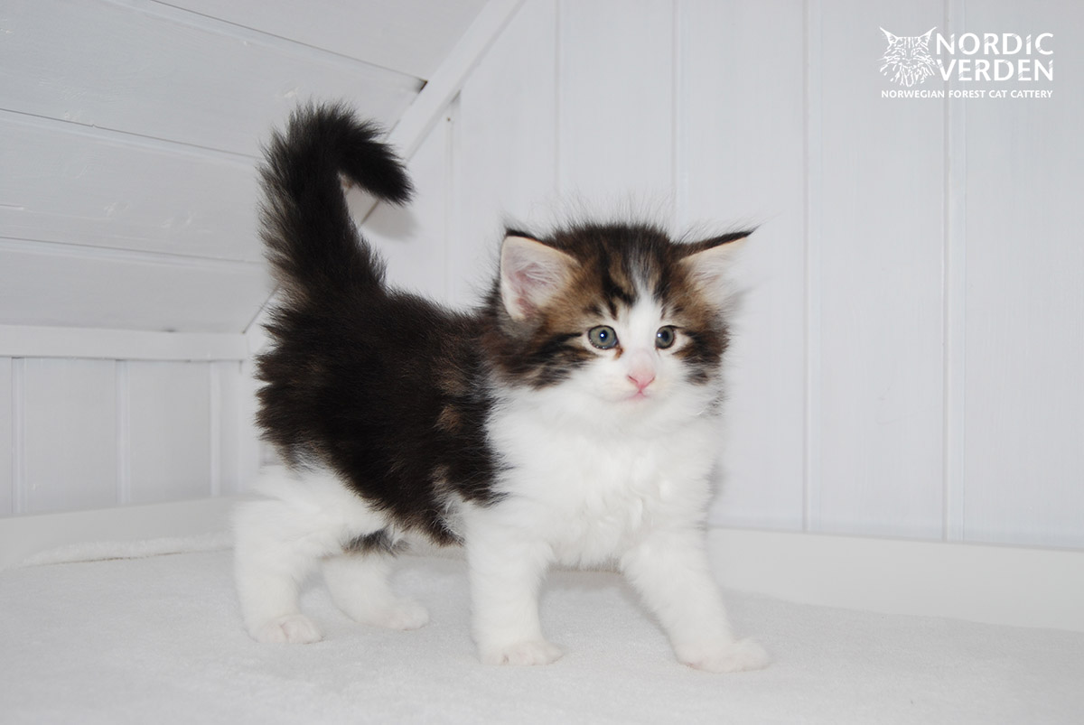 HU*Nordic Verden Joringel - norvég erdei macska