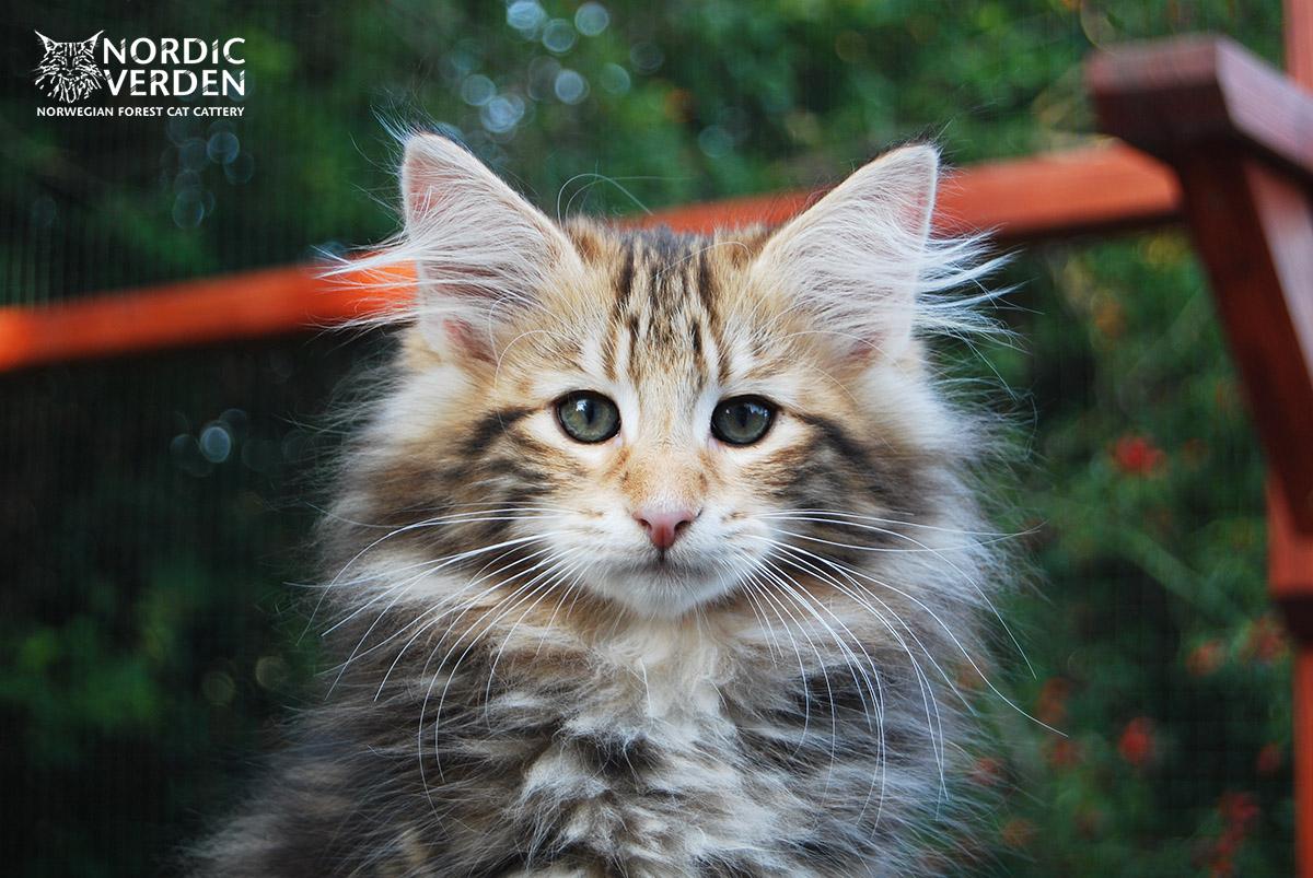HU*Nordic Verden Karakum - norvég erdei macska