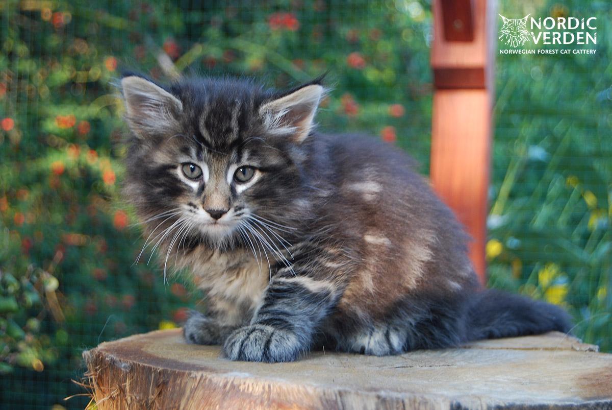 HU*Nordic Verden Kelly Garrett - norvég erdei macska