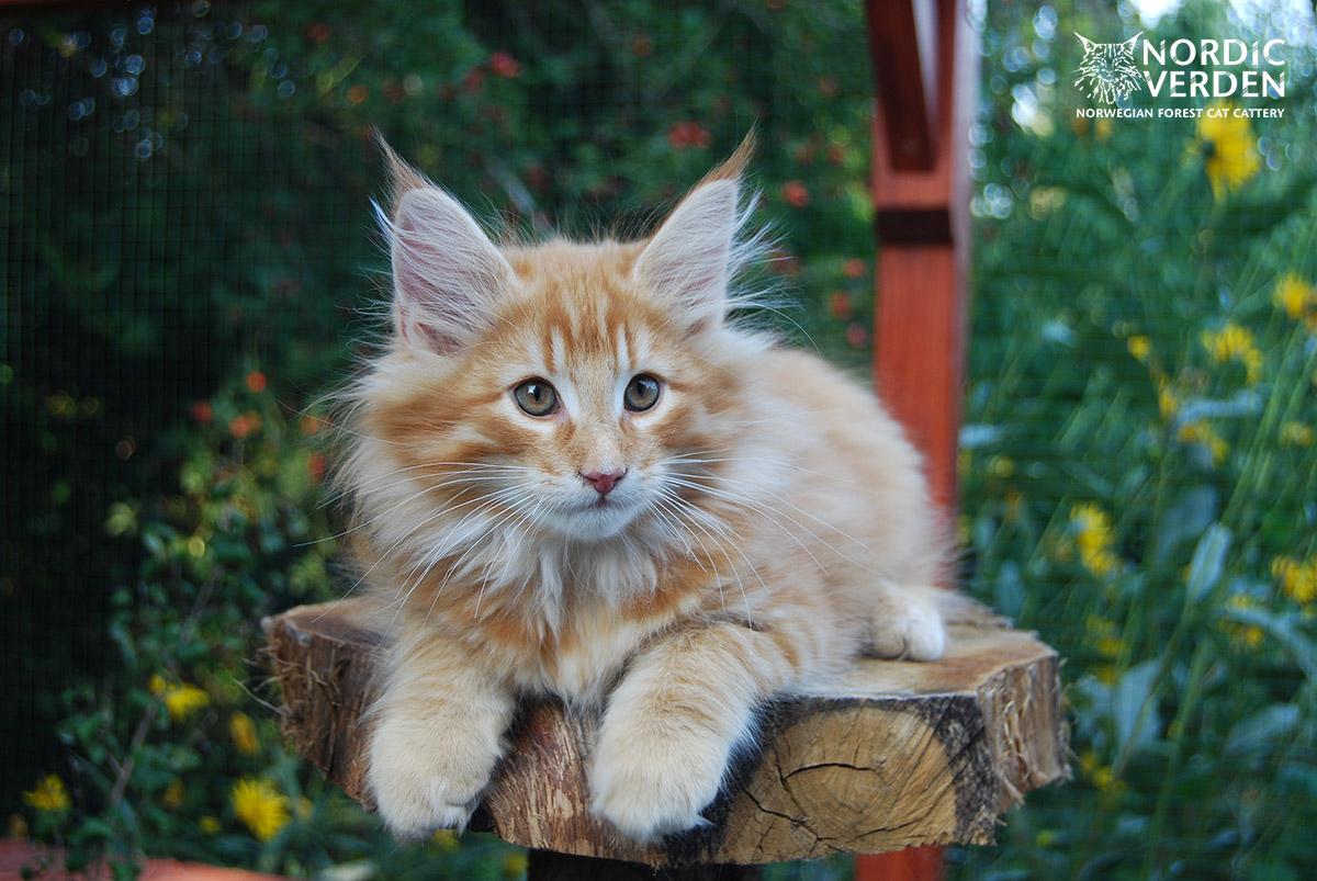 HU*Nordic Verden Lohengrin - norvég erdei macska