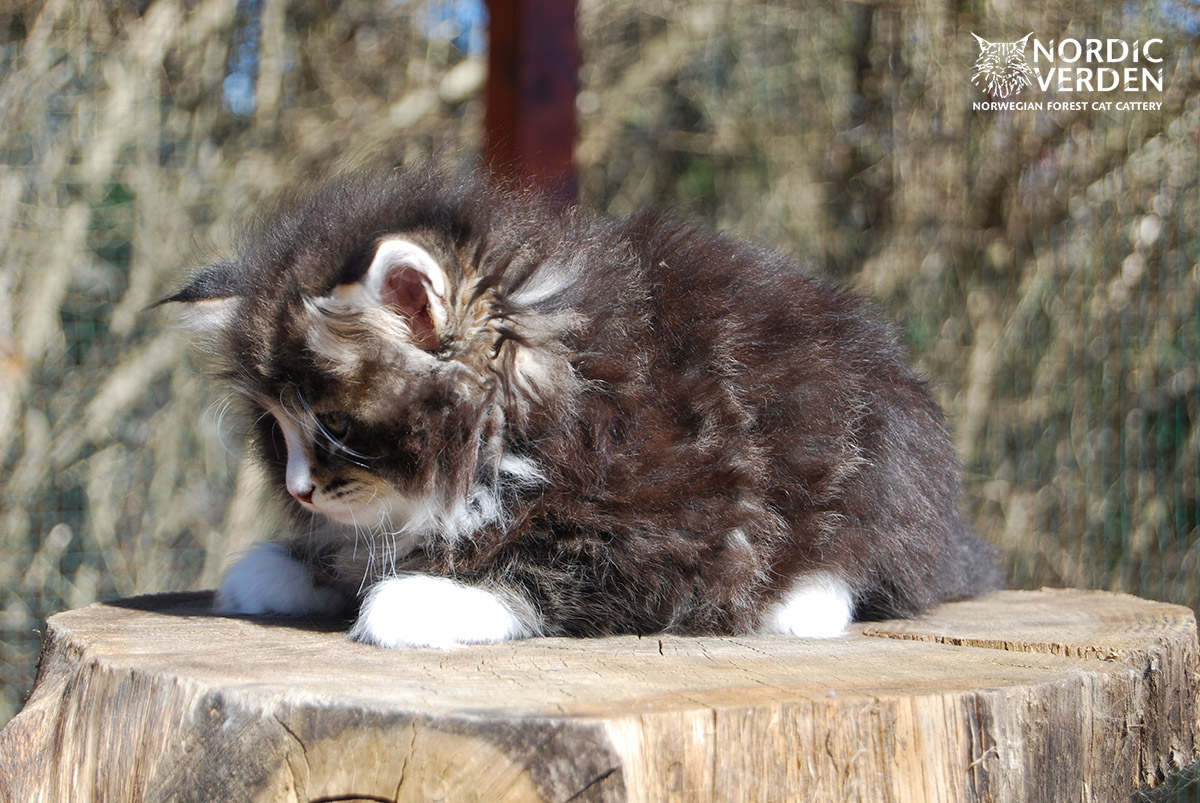 HU*Nordic Verden Lorena - norvég erdei macska