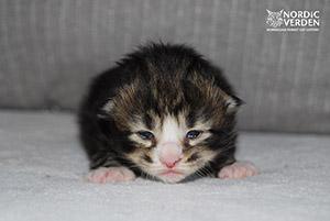 Lorena - norvég erdei macska