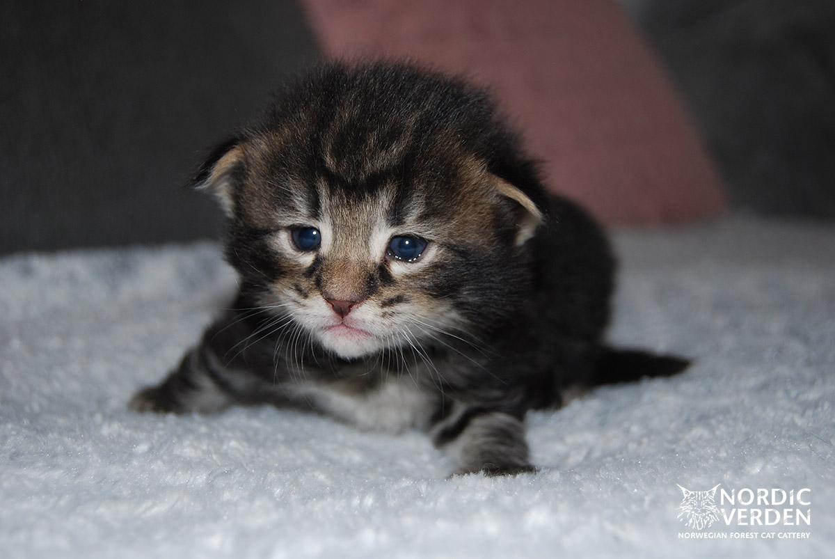 HU*Nordic Verden Mojave - norvég erdei macska