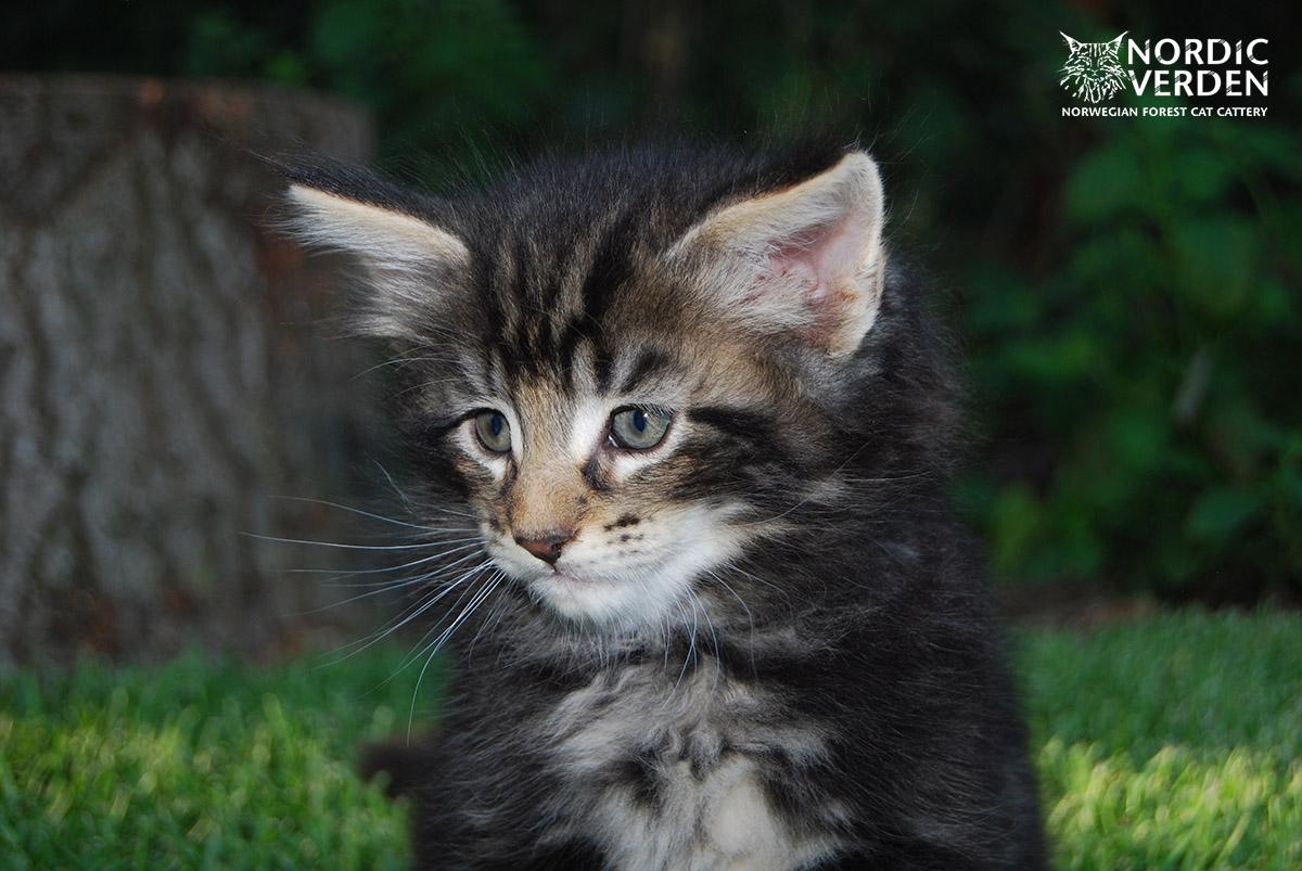HU*Nordic Verden Mundo Novo - norvég erdei macska