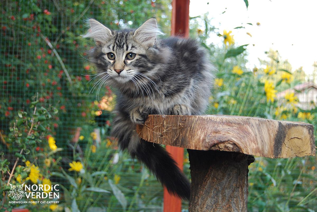 HU*Nordic Verden Namib - norvég erdei macska