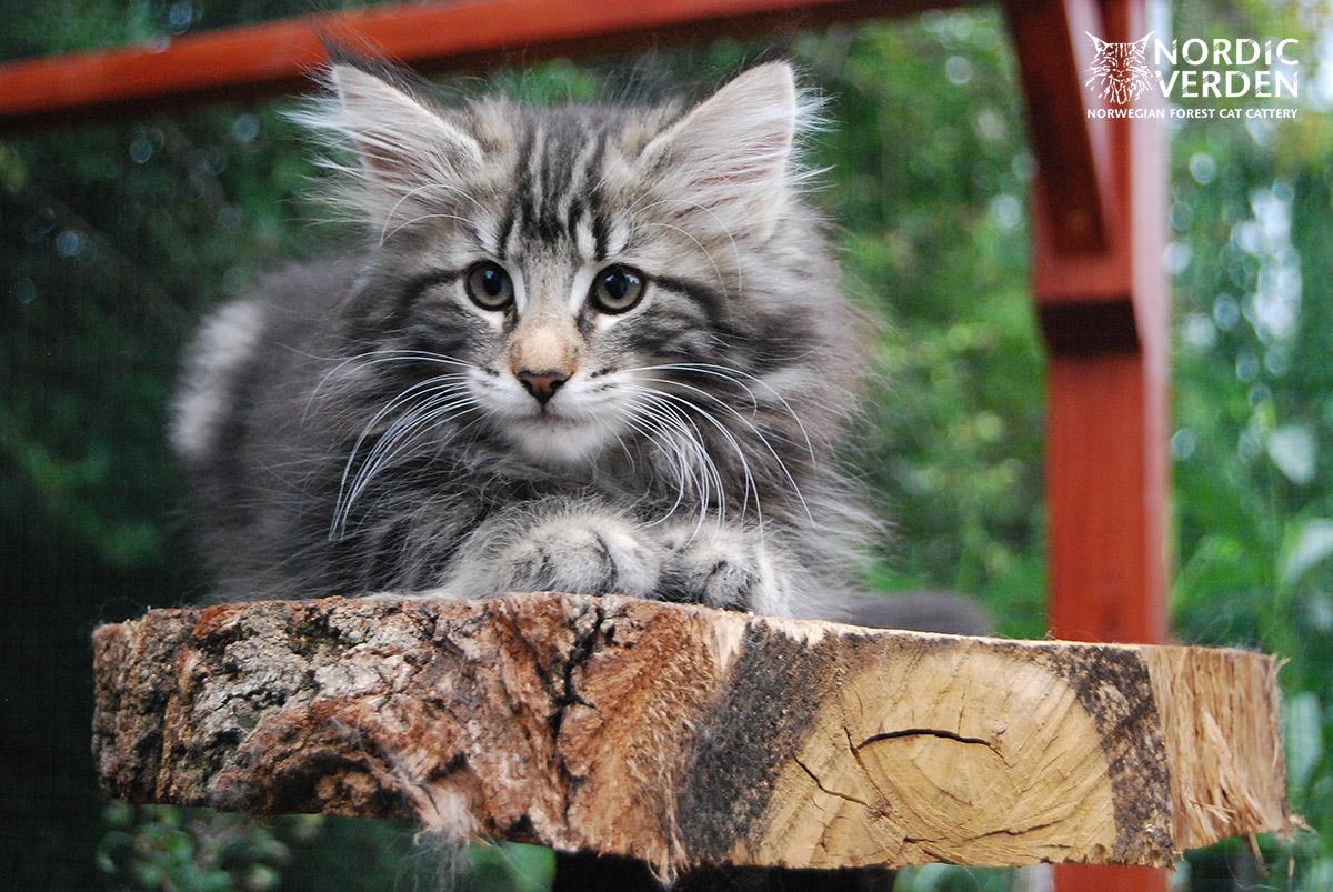 HU*Nordic Verden Nayarita - norvég erdei macska