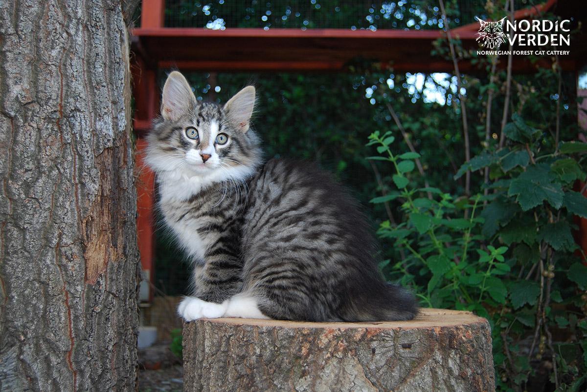 HU*Nordic Verden Otta - norvég erdei macska