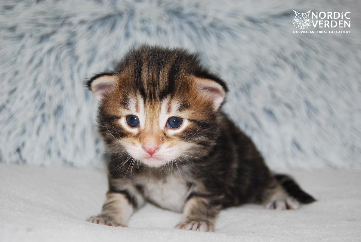 HU*Nordic Verden Sam Wilson - norvég erdei macska